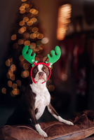 Boston Terrier dog with reindeer antlers, Christmas tree in background 11015341636| 写真素材・ストックフォト・画像・イラスト素材|アマナイメージズ