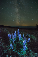 Lupins (Lupinus polyphyllus) growing in foreground, Milky Way visible in night sky, Nickel Plate Provincial Park, Penticton, Bri 11015342312| 写真素材・ストックフォト・画像・イラスト素材|アマナイメージズ