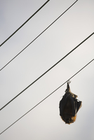 Low angle view of bat sleeping on electric cable against sky
