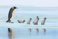 Emperor Penguin with Chicks on way to Rookery, Snowhill Isla 11030032256| 写真素材・ストックフォト・画像・イラスト素材|アマナイメージズ