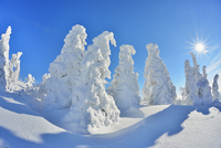 Snow Covered Conifer Trees with Sun in the Winter, Grafenau, Lusen, National Park Bavarian Forest, Bavaria, Germany 11030038209| 写真素材・ストックフォト・画像・イラスト素材|アマナイメージズ