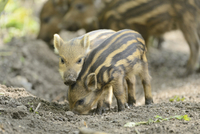 Close-up of Wild boar or wild pig (Sus scrofa) piglets in forest, early summer, Wildpark Alte Fasanerie Hanau, Hesse, Germany 11030044594| 写真素材・ストックフォト・画像・イラスト素材|アマナイメージズ