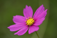 Close-up of a Garden cosmos or Mexican aster (Cosmos bipinnatus) in summer, Upper Palatinate, Bavaria, Germany 11030044633| 写真素材・ストックフォト・画像・イラスト素材|アマナイメージズ