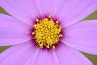 Close-up of a Garden cosmos or Mexican aster (Cosmos bipinnatus) in summer, Upper Palatinate, Bavaria, Germany 11030044634| 写真素材・ストックフォト・画像・イラスト素材|アマナイメージズ