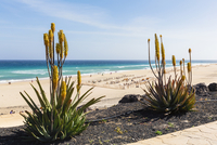 Blooming Aloe Plants by Promenade above Beach and Sea, Morro Jable, Fuerteventura, Canary Islands, Spain 11030047461| 写真素材・ストックフォト・画像・イラスト素材|アマナイメージズ