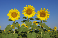 Common Sunflowers (Helianthus annuus) against Clear Blue Sky, Tuscany, Italy 11030048499| 写真素材・ストックフォト・画像・イラスト素材|アマナイメージズ