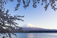Blooming Cherry Tree Branches at Lake Kawaguchi in front of Mount Fuji, Yamanashi Prefecture, Japan 11030053079| 写真素材・ストックフォト・画像・イラスト素材|アマナイメージズ