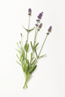 Lavender with flowers on a white surface 11047041670| 写真素材・ストックフォト・画像・イラスト素材|アマナイメージズ