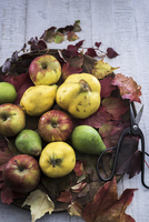 Autumnal fruit (quince, apples, pears) with leaves and scissors on a wooden board 11047057146| 写真素材・ストックフォト・画像・イラスト素材|アマナイメージズ