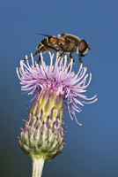Fly on thistle