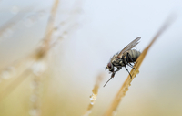 Housefly on straw with dew drops
