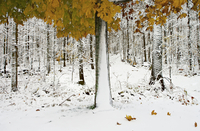 View of snowcapped forest with colorful autumn leaves 11086019656| 写真素材・ストックフォト・画像・イラスト素材|アマナイメージズ