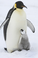 An adult Emperor penguin with a small chick  11093000505| 写真素材・ストックフォト・画像・イラスト素材|アマナイメージズ