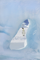 An adult Emperor penguin standing Seen through an ice arch.  11093000508| 写真素材・ストックフォト・画像・イラスト素材|アマナイメージズ