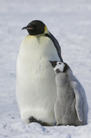 Two Emperor penguins, an adult bird and a chick 11093000517| 写真素材・ストックフォト・画像・イラスト素材|アマナイメージズ