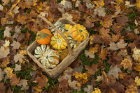 A trug or basket with organic squashes and gourds.  11093001833| 写真素材・ストックフォト・画像・イラスト素材|アマナイメージズ
