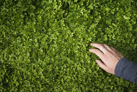 A woman's hand stroking green foliage of a growing plant. 11093002615| 写真素材・ストックフォト・画像・イラスト素材|アマナイメージズ