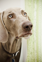 A pedigree breed, a Weimaraner dog in the shower room 11093002631| 写真素材・ストックフォト・画像・イラスト素材|アマナイメージズ