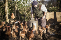 A farmer holding a feed bucket, surrounded by a flock of hungry chickens.  11093005105| 写真素材・ストックフォト・画像・イラスト素材|アマナイメージズ