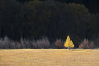 A single aspen tree in autumn leaf colours against a dark background.  11093005538| 写真素材・ストックフォト・画像・イラスト素材|アマナイメージズ
