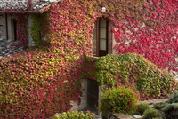 Colourful ivy growing on the wall of a Tuscan villa. 11093005761| 写真素材・ストックフォト・画像・イラスト素材|アマナイメージズ
