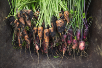 A bunch of freshly pulled carrots with mud on the vegetables. 11093013162| 写真素材・ストックフォト・画像・イラスト素材|アマナイメージズ