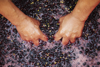 A man with his hands in fresh crushed red grapes and juice. 11093013228| 写真素材・ストックフォト・画像・イラスト素材|アマナイメージズ