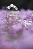Surface view of field of white and pink Cosmos flowers, one tall white flower spike above the rest. 11093019615| 写真素材・ストックフォト・画像・イラスト素材|アマナイメージズ