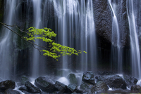 Long exposure of waterfall with branch of Maple tree with green leaves in foreground. 11093019647| 写真素材・ストックフォト・画像・イラスト素材|アマナイメージズ