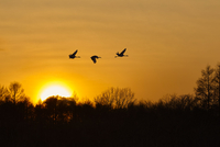 Silhouette of three red-crowned cranes, Grus japonensi, Japanese crane, in flight at sunset. 11093019661| 写真素材・ストックフォト・画像・イラスト素材|アマナイメージズ