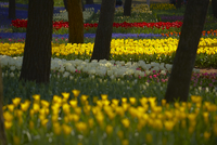Carpet of tulips in a variation of bright colours growing in between trees. 11093019663| 写真素材・ストックフォト・画像・イラスト素材|アマナイメージズ