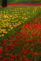 Close up of carpet of bright yellow and red tulips. 11093019667| 写真素材・ストックフォト・画像・イラスト素材|アマナイメージズ