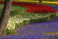 Carpet of tulips in a variation of bright colours growing in between trees. 11093019668| 写真素材・ストックフォト・画像・イラスト素材|アマナイメージズ