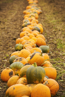 Rows of bright yellow, green and orange pumpkins harvested and left out to dry off in the fields in autumn. 11093022291| 写真素材・ストックフォト・画像・イラスト素材|アマナイメージズ