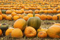 Rows of bright yellow, green and orange pumpkins harvested and left out to dry off in the fields in autumn. 11093022292| 写真素材・ストックフォト・画像・イラスト素材|アマナイメージズ