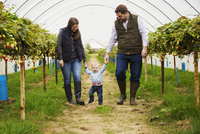 Fruit picking in a poly tunnel, PYO. A family and a baby boy walking between rows of strawberry plants grown on raised platforms 11093022317| 写真素材・ストックフォト・画像・イラスト素材|アマナイメージズ