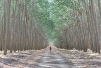 Man walking down tree lined dirt road, surrounded by commercially grown poplar trees. 11093022364| 写真素材・ストックフォト・画像・イラスト素材|アマナイメージズ