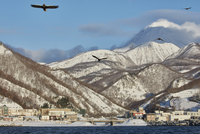Steller's Sea Eagle, Haliaeetus pelagicus, mid-air with mountains in the background, winter. 11093022647| 写真素材・ストックフォト・画像・イラスト素材|アマナイメージズ