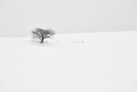 Snow-covered winter landscape with solitary tree in the distance, Biei. 11093022742| 写真素材・ストックフォト・画像・イラスト素材|アマナイメージズ