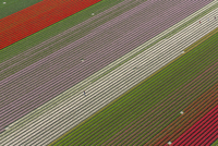 Aerial view of rows of colourful fields of tulips. 11093023064| 写真素材・ストックフォト・画像・イラスト素材|アマナイメージズ