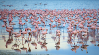 Reflection of large flock of pink flamingos standing in a lake.