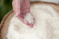 High angle close up of human hand holding bowl with freshly harvested rice grains. 11093025168| 写真素材・ストックフォト・画像・イラスト素材|アマナイメージズ