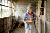 Elderly woman with grey hair standing in a chicken house, holding basket, collecting fresh eggs. 11093025187| 写真素材・ストックフォト・画像・イラスト素材|アマナイメージズ