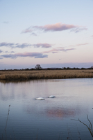 Two swans feeding with heads underwater at dusk on a marsh in a  wetland nature reserve.