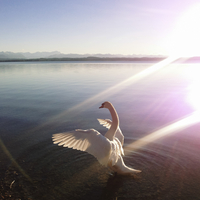 Swan in backlight, Lake Starnberg, Ambach, Bavaria, Germany