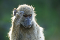 Young baboon scratching its head, South Africa 11098018885| 写真素材・ストックフォト・画像・イラスト素材|アマナイメージズ