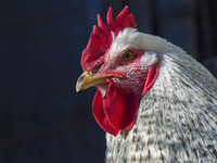 Closeup of a happy free range rooster resting in the sun 11098099591| 写真素材・ストックフォト・画像・イラスト素材|アマナイメージズ