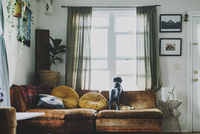 Rear view of dog looking through window while standing on sofa at home 11100038541| 写真素材・ストックフォト・画像・イラスト素材|アマナイメージズ