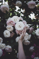 Cropped image of hand touching roses on plant 11100044047| 写真素材・ストックフォト・画像・イラスト素材|アマナイメージズ