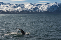 Whale swimming in sea against snowcapped mountains 11100046193| 写真素材・ストックフォト・画像・イラスト素材|アマナイメージズ
